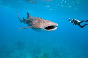 8774140 - whale shark and underwater photographer